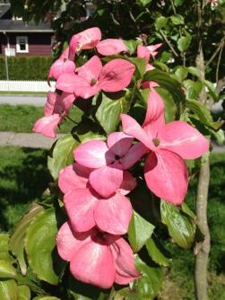 dogwoods - pink