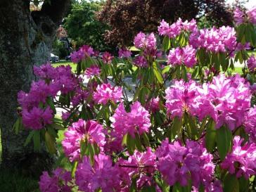 rhododendrens - pink