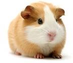 meditation guinea pig